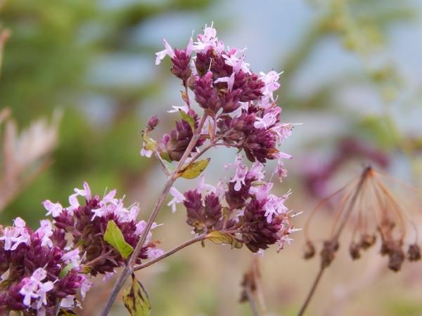 flower-marjoram