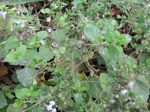 marjoram-flowers
