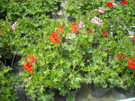 Parisian geraniums