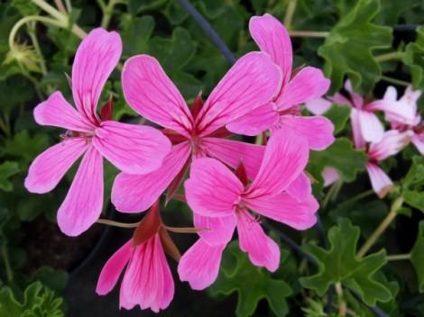 geranium-parisian-flower