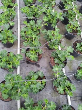 geranium-parisian-cultivation