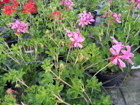 geranium-parisian-pruning