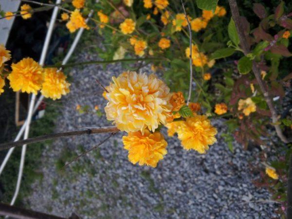 Kerria-japonica-flowers