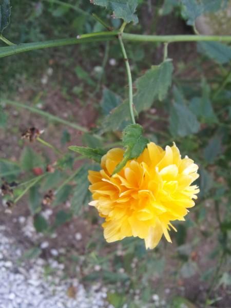 Kerria-flower