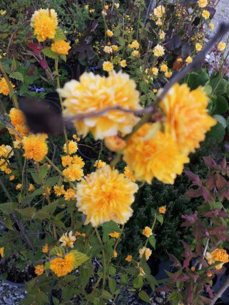 Kerria-cultivation