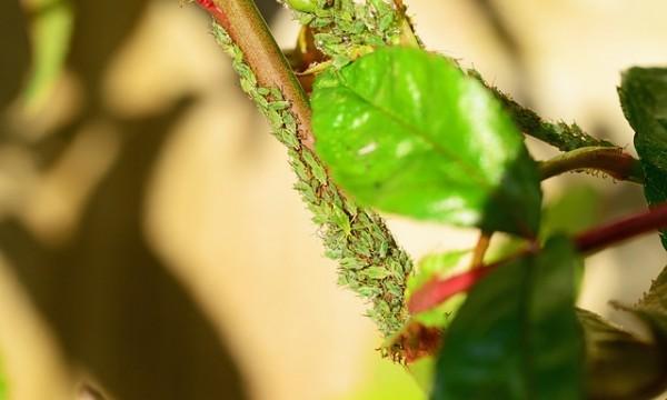infestation-aphids