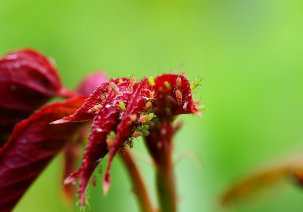 red-fly-aphids