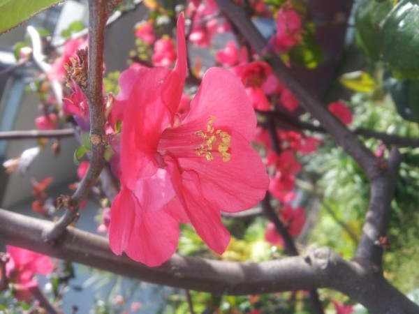 Quince-Japanese-flower