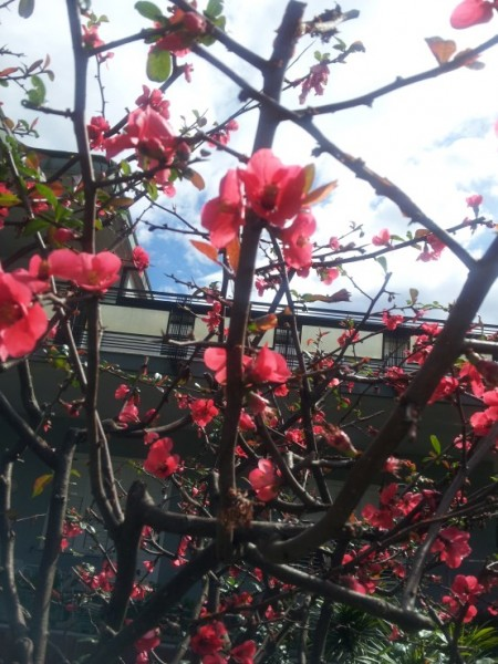 Quince-Japanese