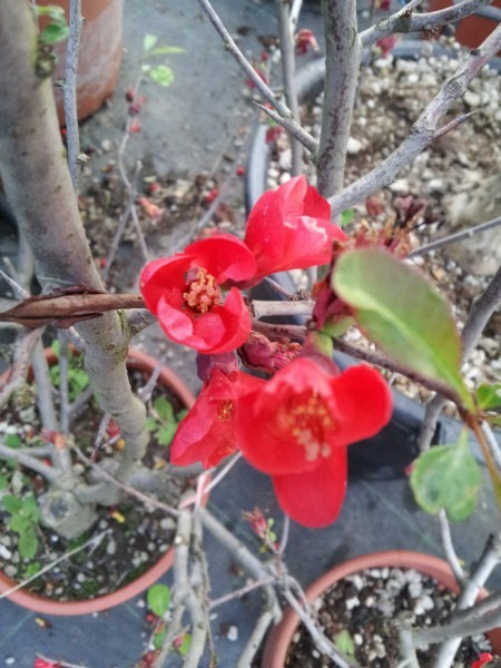 Quince-Japan-Multiplication
