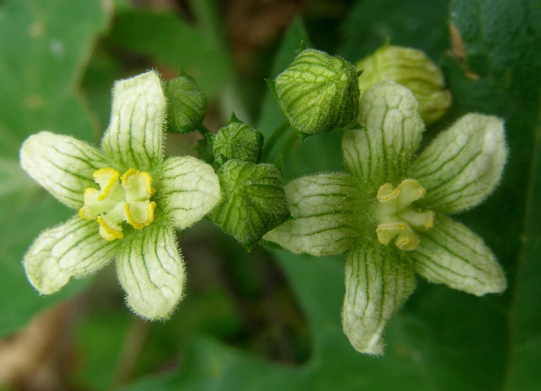Bryonia-dioica-flowers