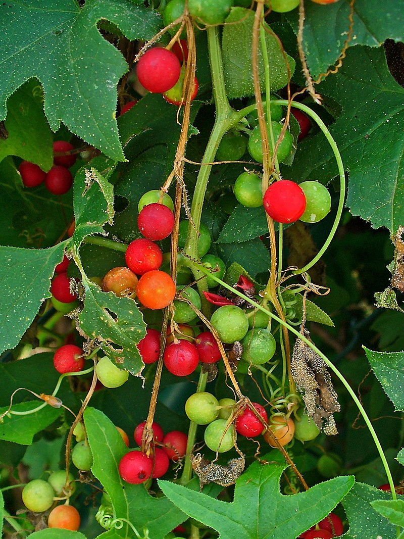 Bryonia-berries