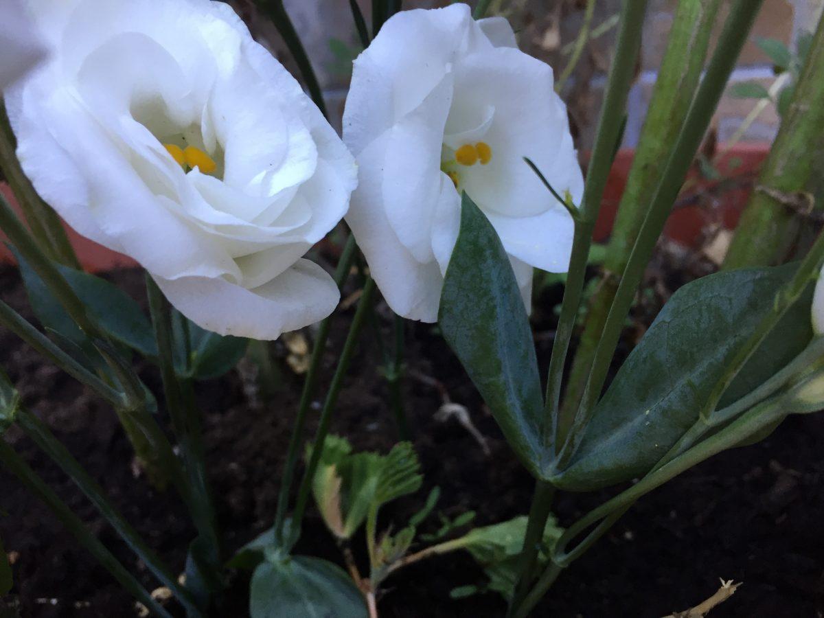 lisianthus-leaves-flowers