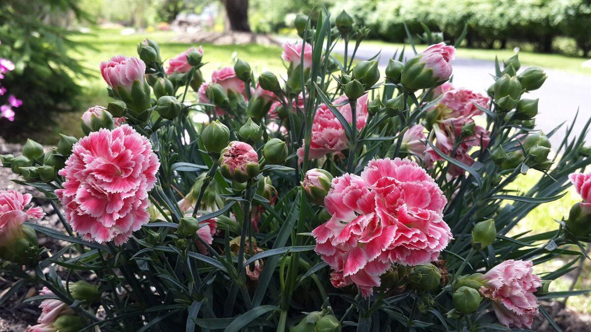 Carnations-flowers
