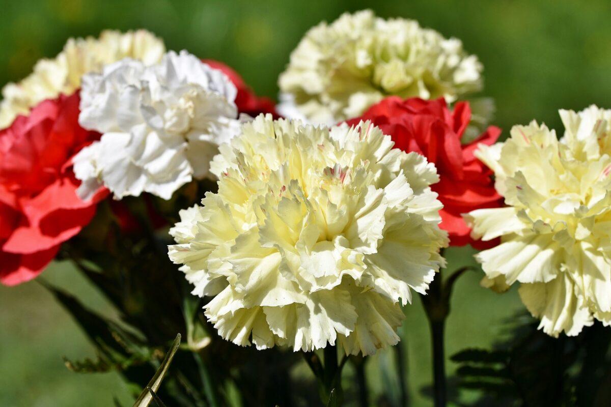 Carnation - Dianthus caryophyllus