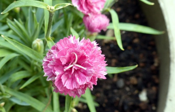 Carnation-repotting