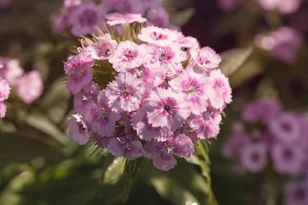 Carnations-variety