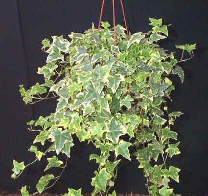 ivy-drooping