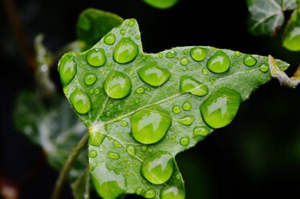 ivy-leaf