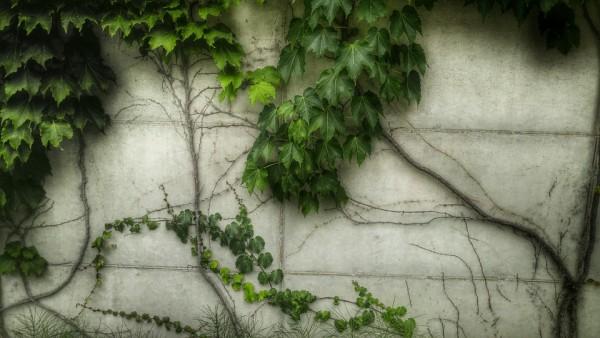 ivy-climbing