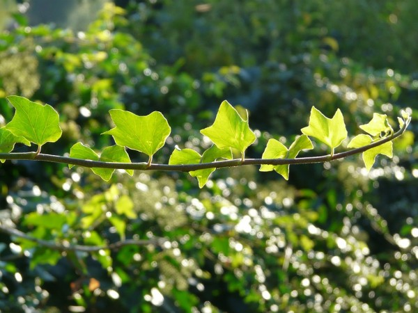 ivy-topping