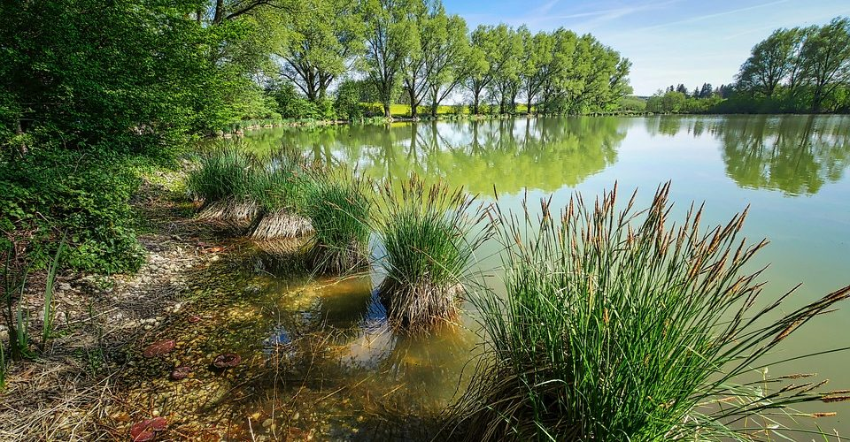 Piantea acquatiche -Piante palustri