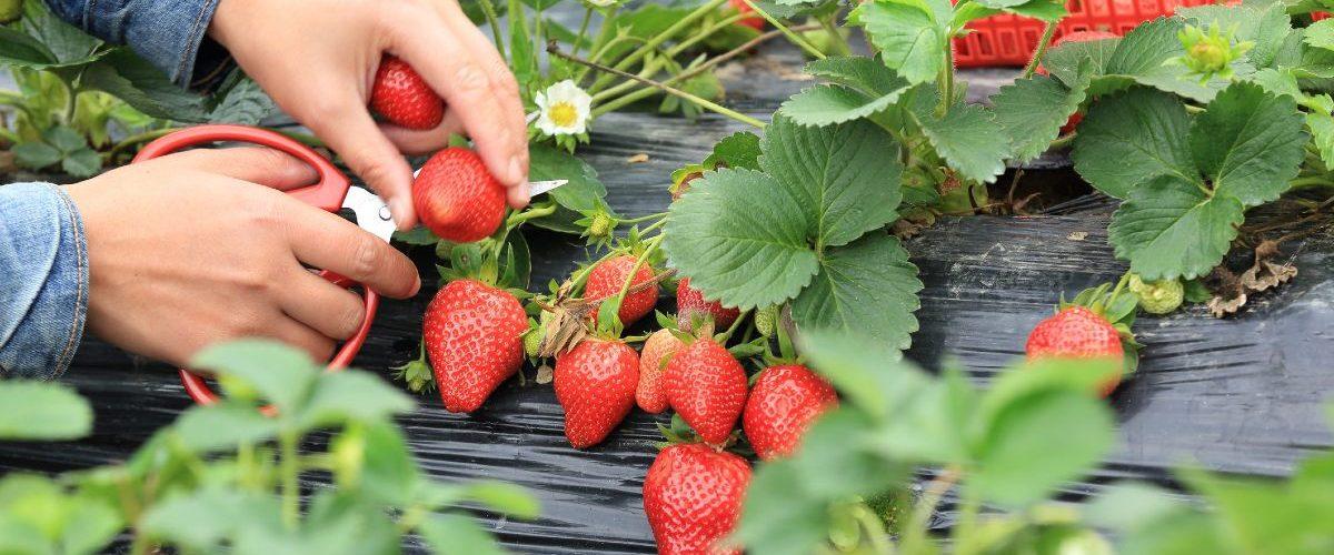 Frutti di bosco come coltivarli nell'orto di casa 3