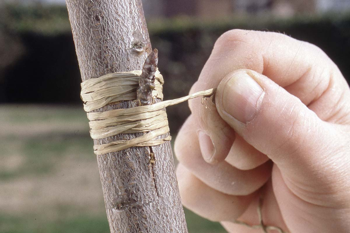 Types of grafting what they are, characteristics 1