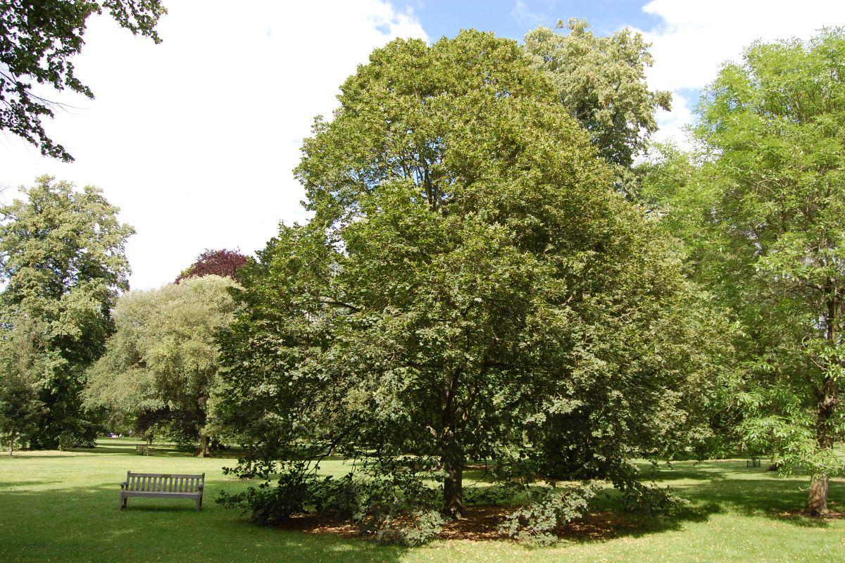Evergreen garden trees 7