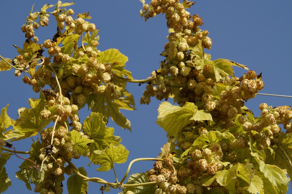 Ripe-fruit-hops