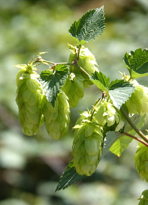 Hops-inflorescences-female