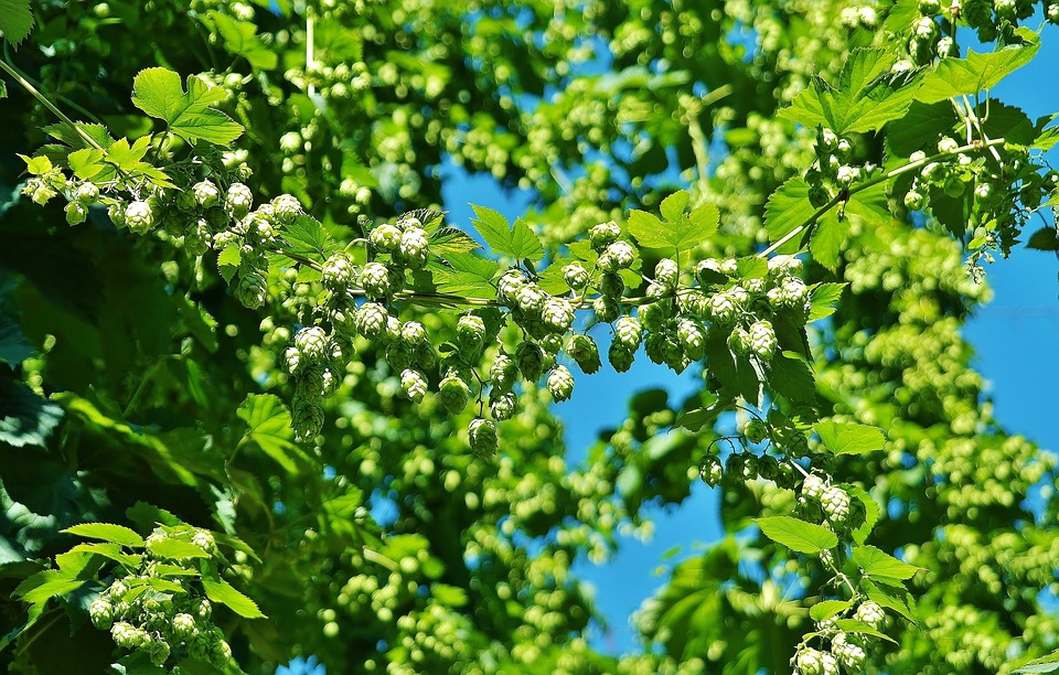 Hops-cultivation