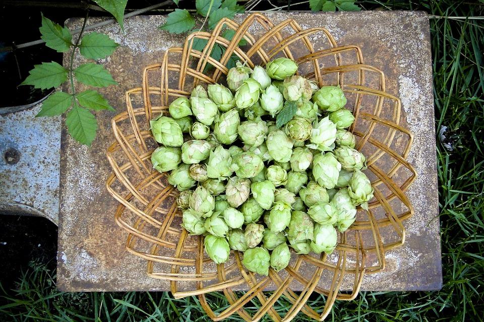 Hops-flowers-crops