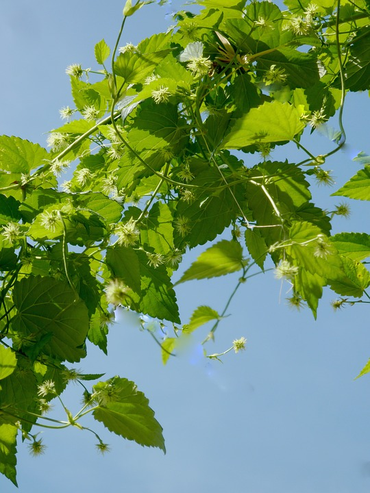 Hop-branches