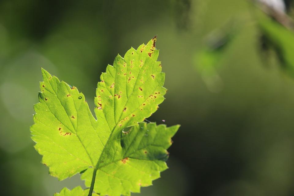 Hops-parasites-diseases