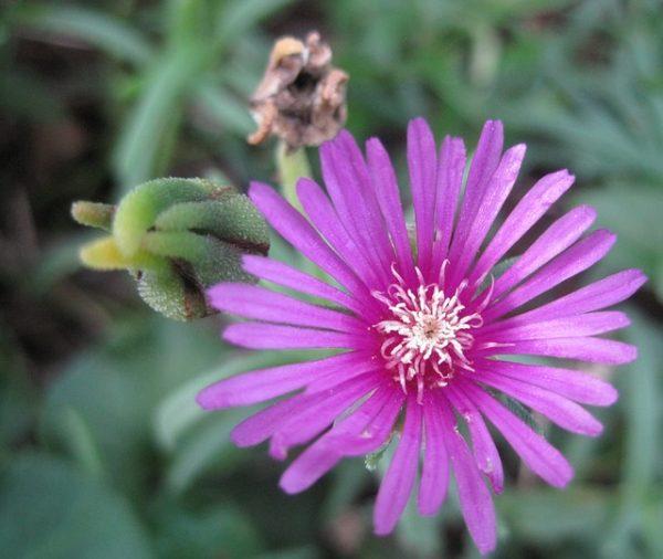 Mesembryanthemum-flower