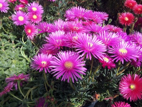 Mesembriantemo-plant