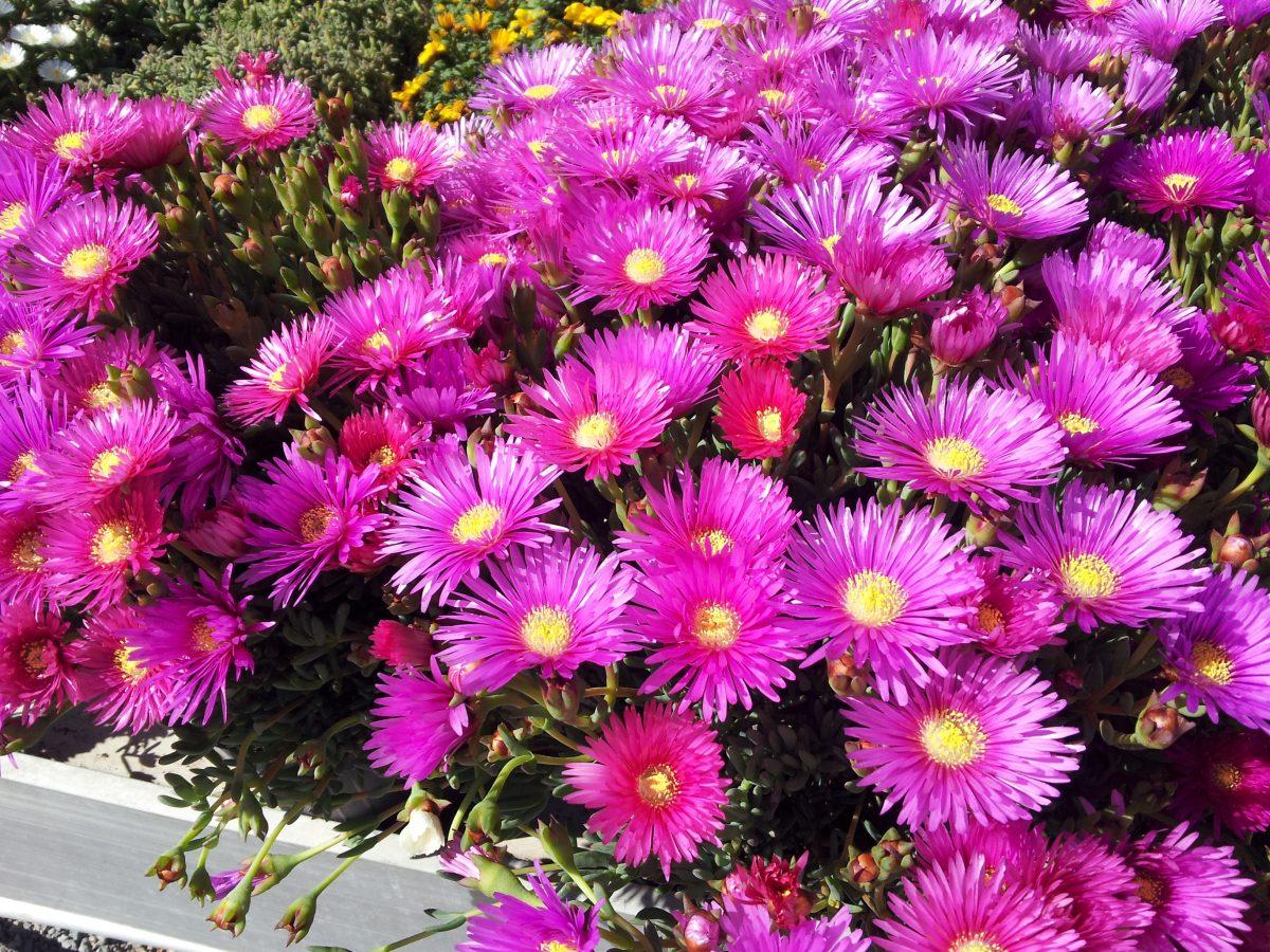 Mesembryanthemum-edulis