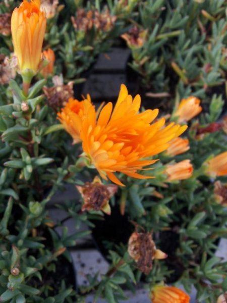 Mesembriantemo-flower-orange