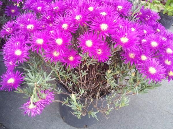 Mesembranthemum-Mesembryanthemum