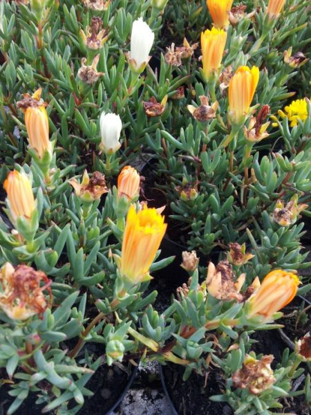 Mesembriantemo-yellow-flowers