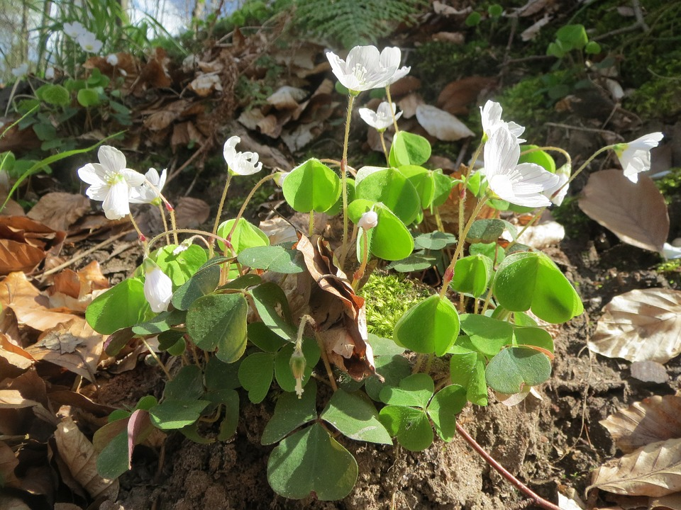 oxalis-acetosella-flowering