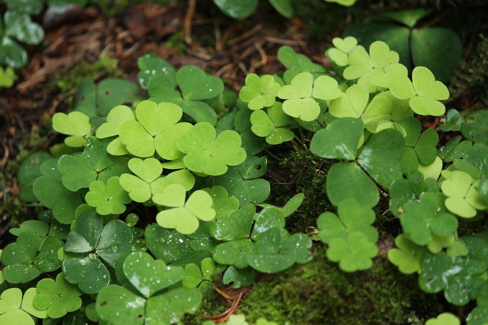 Shamrock-leaves