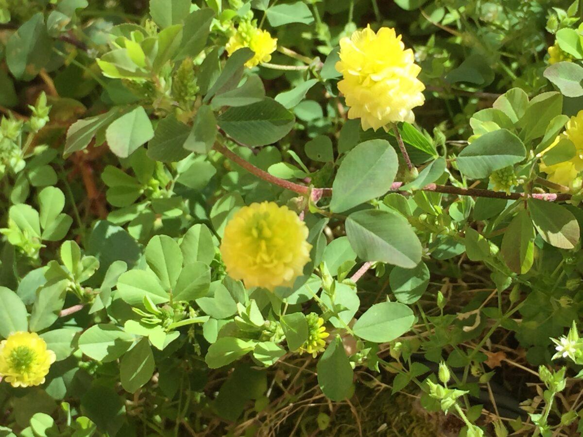 Field clover-flowers