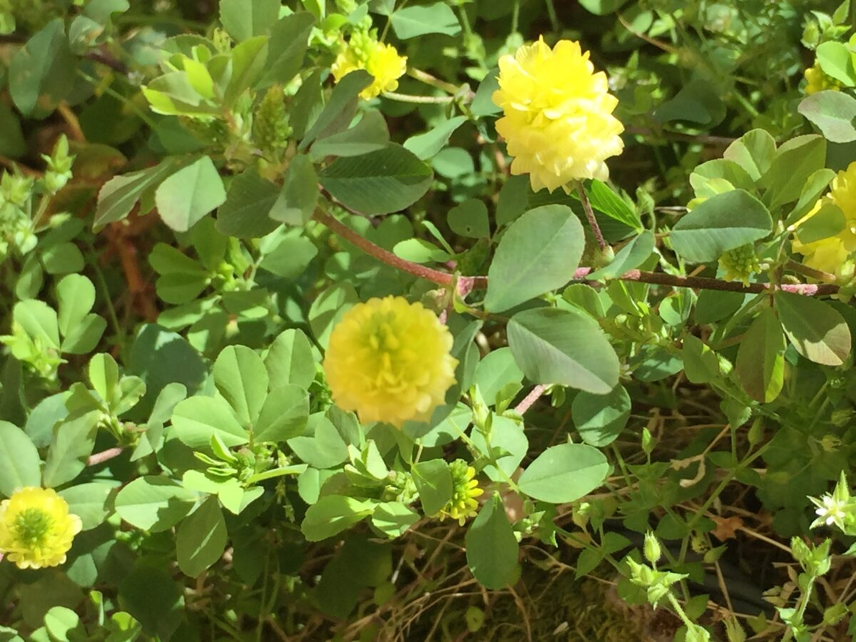 Field clover-cultivation