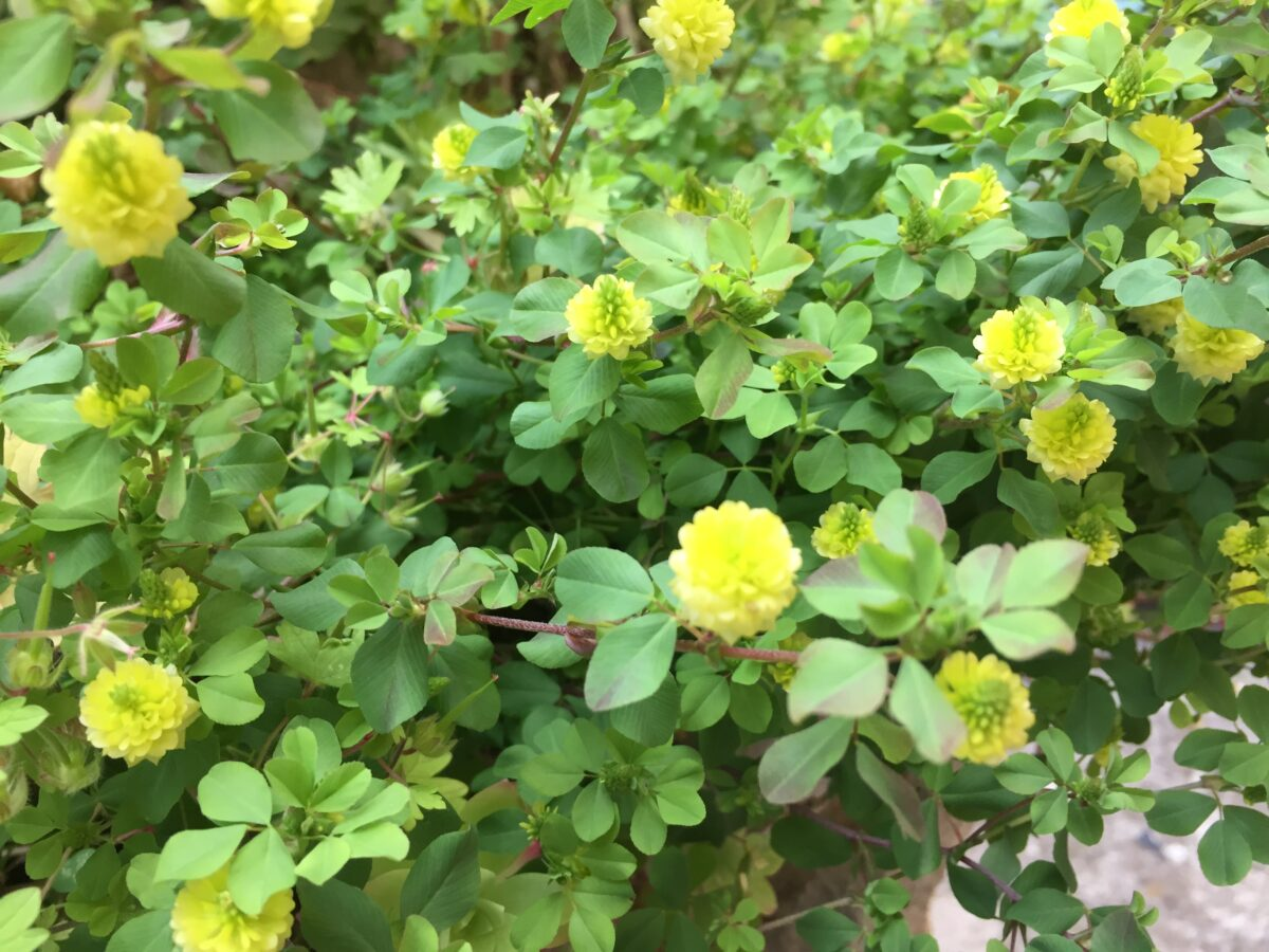 Clover-field -cultivation