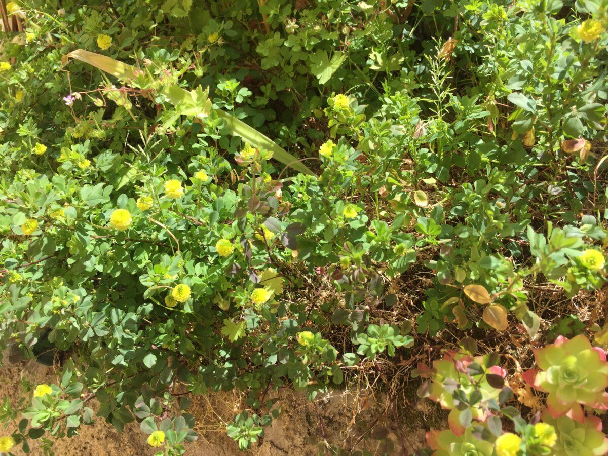 Field-flowering clover