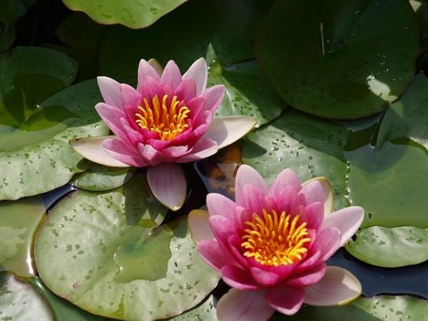 Water lily. Aquatic-plant