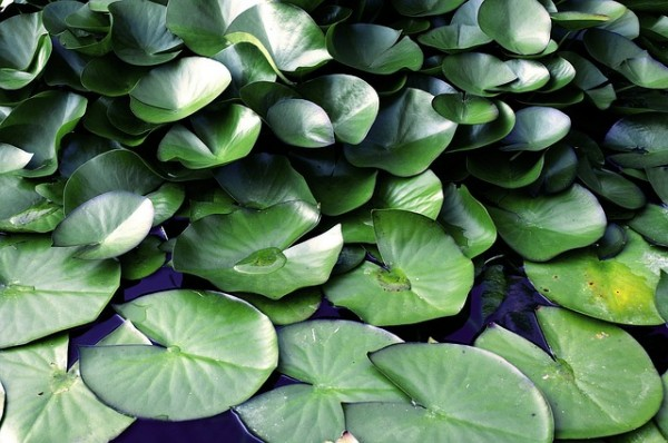 Water lily-leaves