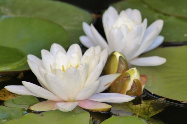 Water lily-white